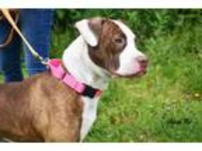 Adopt Brianna a White American Pit Bull Terrier / Mixed dog in Lancaster