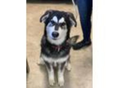 Adopt Marco a Siberian Husky, Mixed Breed