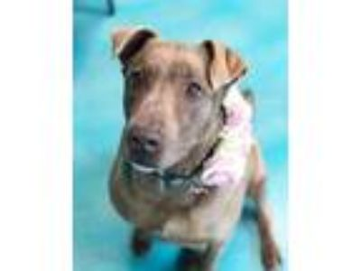 Adopt Chotsie a Brown/Chocolate Labrador Retriever / Terrier (Unknown Type