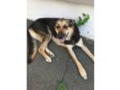 Adopt Taz a Black - with Tan, Yellow or Fawn Shepherd (Unknown Type) / Shepherd