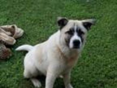 Adopt Lincoln a Tan/Yellow/Fawn Anatolian Shepherd dog in San Antonio