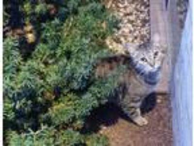 Adopt Jura a Brown Tabby Domestic Shorthair cat in Lanham, MD (25494100)