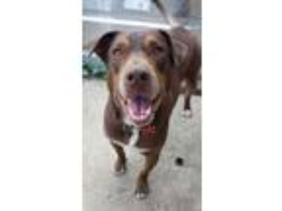 Adopt Flashy a Labrador Retriever, Shepherd