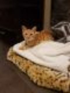 Simba Tabby - Ocicat Cat