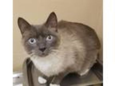 Adopt Kashe a Siamese / Mixed cat in Spokane Valley, WA (25263295)
