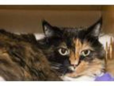 Adopt Cat Rachel a Domestic Medium Hair, Domestic Short Hair