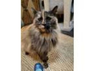 Adopt Francesca (Frannie) a Tortoiseshell, Norwegian Forest Cat