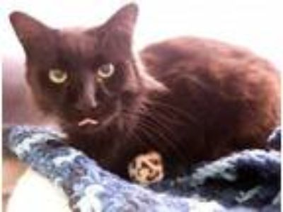 Adopt Casey a Domestic Medium Hair