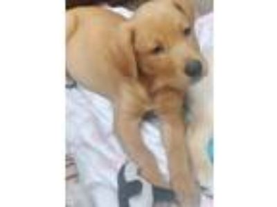 Adopt Milo a Labrador Retriever, Golden Retriever