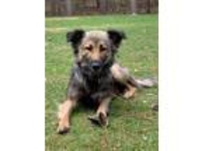 Adopt Billie a German Shepherd Dog