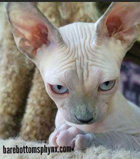Sphynx kitten's hairless kitten's