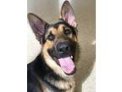 Adopt Blue a Black German Shepherd Dog / Mixed dog in Columbia City