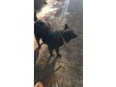 Adopt Sierra a Black Collie / Mixed dog in Blanchard, OK (17397836)