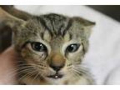 Adopt Felix a Tan or Fawn Domestic Shorthair / Domestic Shorthair / Mixed cat in