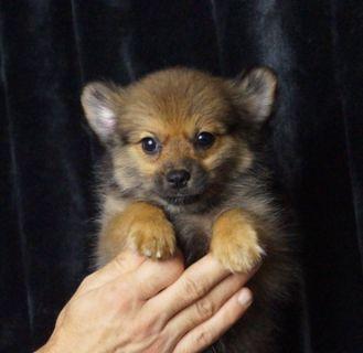 Pomeranian PUPPY FOR SALE ADN-89886 - Adorable AKC Pomeranian Puppies Ready to go