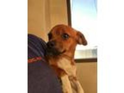 Adopt IRIS a Terrier (Unknown Type, Small) / Mixed dog in Redwood City