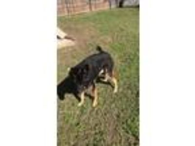 Adopt Rocko a Black - with Tan, Yellow or Fawn German Shepherd Dog / Mixed dog