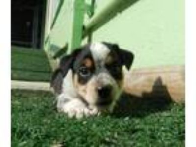 Adopt Black Tail a Black - with White Terrier (Unknown Type