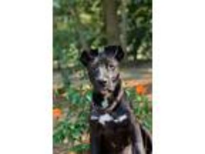 Adopt Rachel a Labrador Retriever, Border Collie
