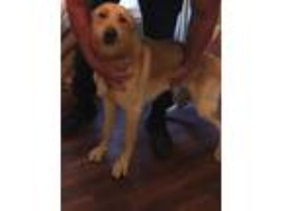 Adopt Lycan a Tan/Yellow/Fawn German Shepherd Dog / Mixed dog in Fayetteville