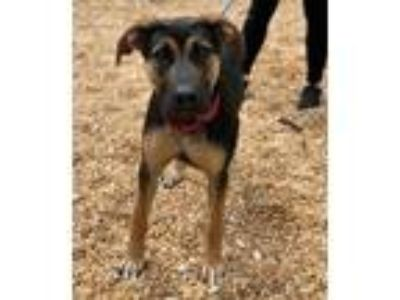 Adopt Darby a Black - with Tan, Yellow or Fawn German Shepherd Dog / Mixed dog