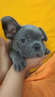 French Bulldog PUPPY FOR SALE ADN-94791 - French Bulldog Litter
