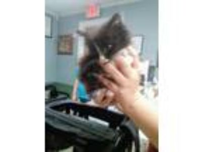 Adopt John Reid a Domestic Long Hair
