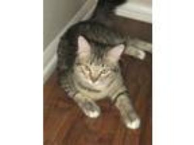 Adopt Pete - Swoan Adopted 5/10/19 a Maine Coon