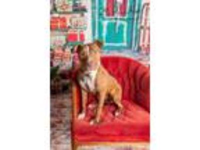 Adopt Kalani a Pit Bull Terrier