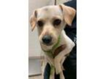 Adopt Applesauce a Tan/Yellow/Fawn Terrier (Unknown Type