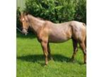 Red roan gelding well trained all around