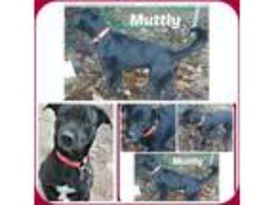 Adopt MUTTLY a Black Labrador Retriever / Mixed dog in Malvern, AR (23773200)