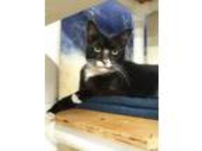 Adopt Oreo a Domestic Shorthair / Mixed (short coat) cat in Ft.