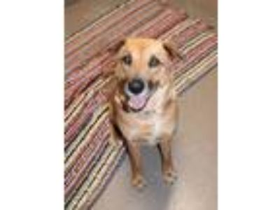 Adopt Mavis a Brown/Chocolate Shepherd (Unknown Type) / Mixed dog in