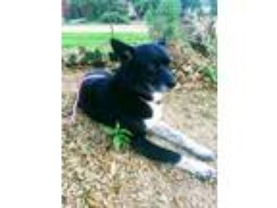 Adopt Lucy CP a Border Collie