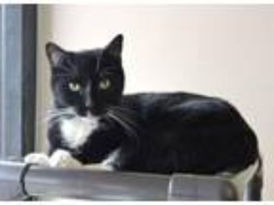 Adopt Evan a Domestic Short Hair