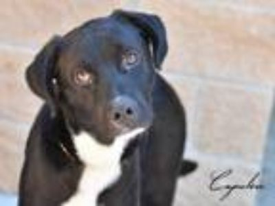 Adopt Capulin a Labrador Retriever, Border Collie