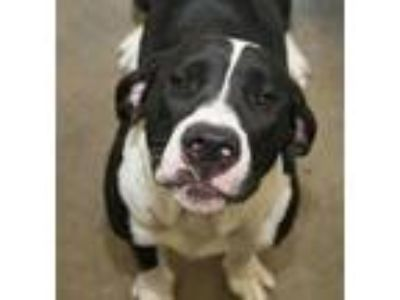 Adopt Maggie Mae a Black American Pit Bull Terrier / Beagle / Mixed dog in