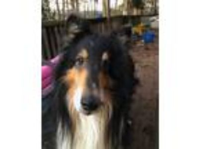 Adopt Monty a Tricolor (Tan/Brown & Black & White) Collie / Mixed dog in