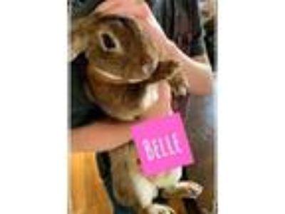 Adopt Belle a Copper Mini Rex / Mixed (short coat) rabbit in Oak Grove