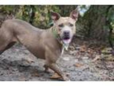 Adopt Ginger a Tan/Yellow/Fawn American Pit Bull Terrier / Mixed dog in