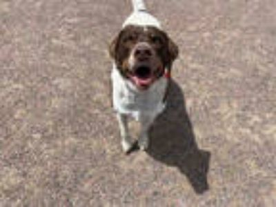 Adopt SILAS a Brown/Chocolate - with White German Shorthaired Pointer / Labrador