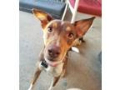 Adopt Bailey a Red/Golden/Orange/Chestnut - with White Beagle / Jack Russell