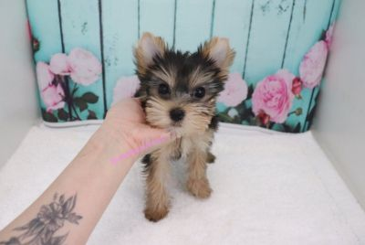 Yorkshire Terrier - Gigi - Female