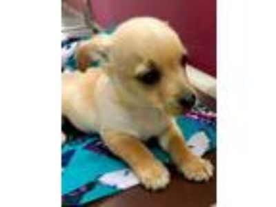 Adopt JACKSON a Tan/Yellow/Fawn Cairn Terrier / Mixed dog in Tangent