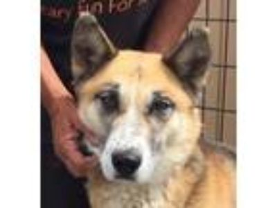 Adopt Foxy a German Shepherd Dog