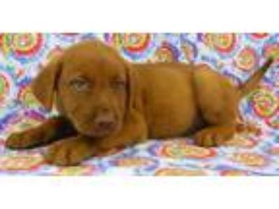 Adopt Tanner a Red/Golden/Orange/Chestnut Labrador Retriever / Mixed dog in