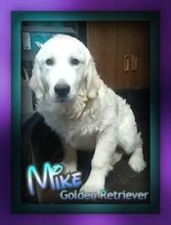 Mike Male AKC English Cream Golden Retriever