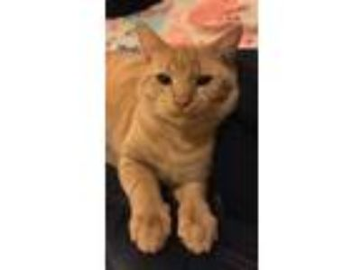 Adopt Garfield a Orange or Red Tabby American Shorthair / Mixed cat in Moss