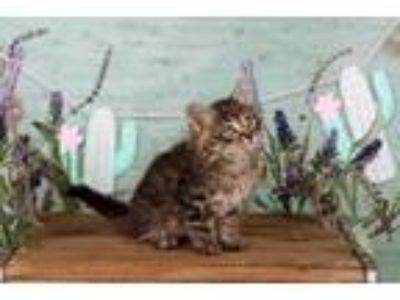 Adopt Mufasa a Maine Coon / Mixed (long coat) cat in San Jacinto, CA (25345844)